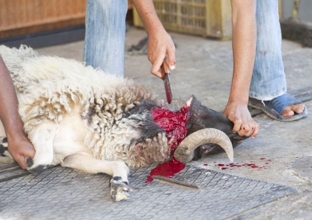 Schaf schaechten